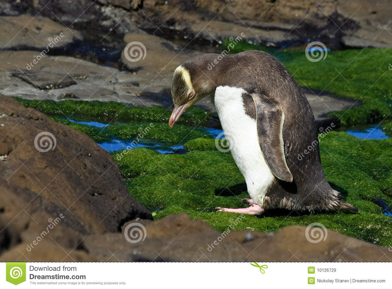 Yellow Eyed Penguin with Craned Neck