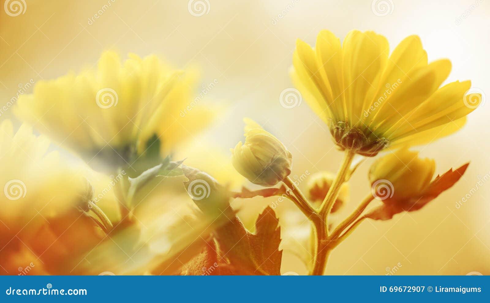 Yellow för fjäder för äng för bakgrundsmaskrosor full