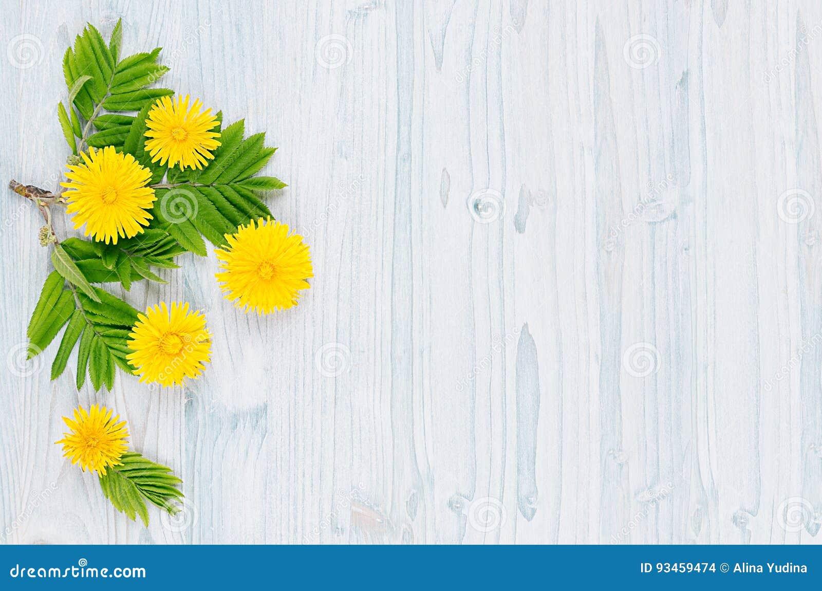 Yellow för fjäder för äng för bakgrundsmaskrosor full Gula maskrosblommor och gröna sidor på ljus - blått träbräde med kopierings