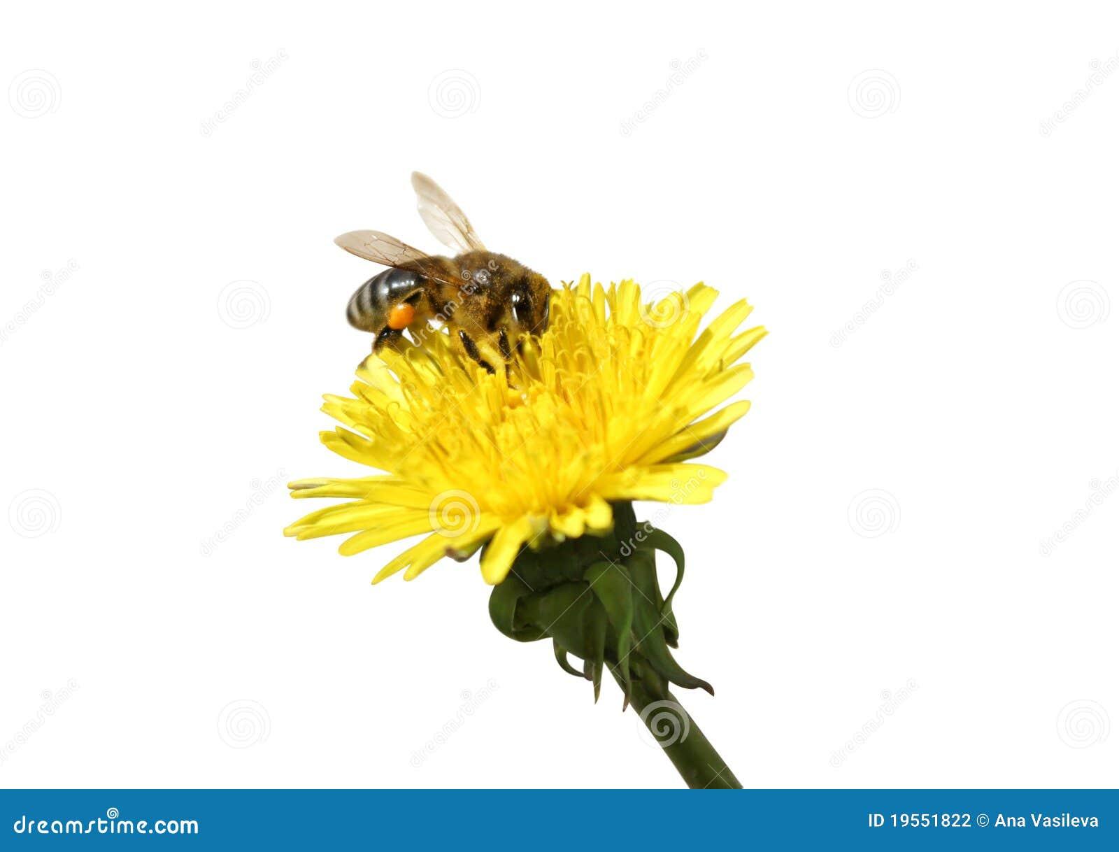 Yellow för honung för bimaskrosblomma