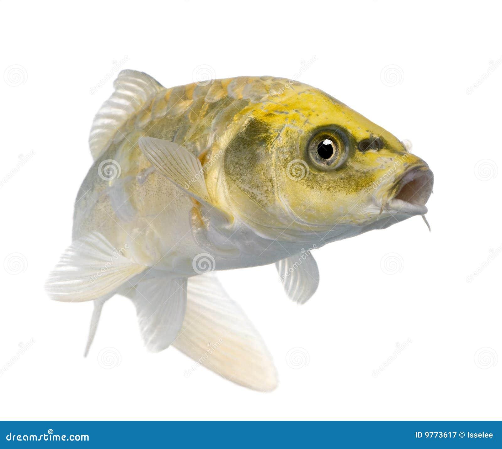 Yellow för ogon för carpio cyprinuskoi