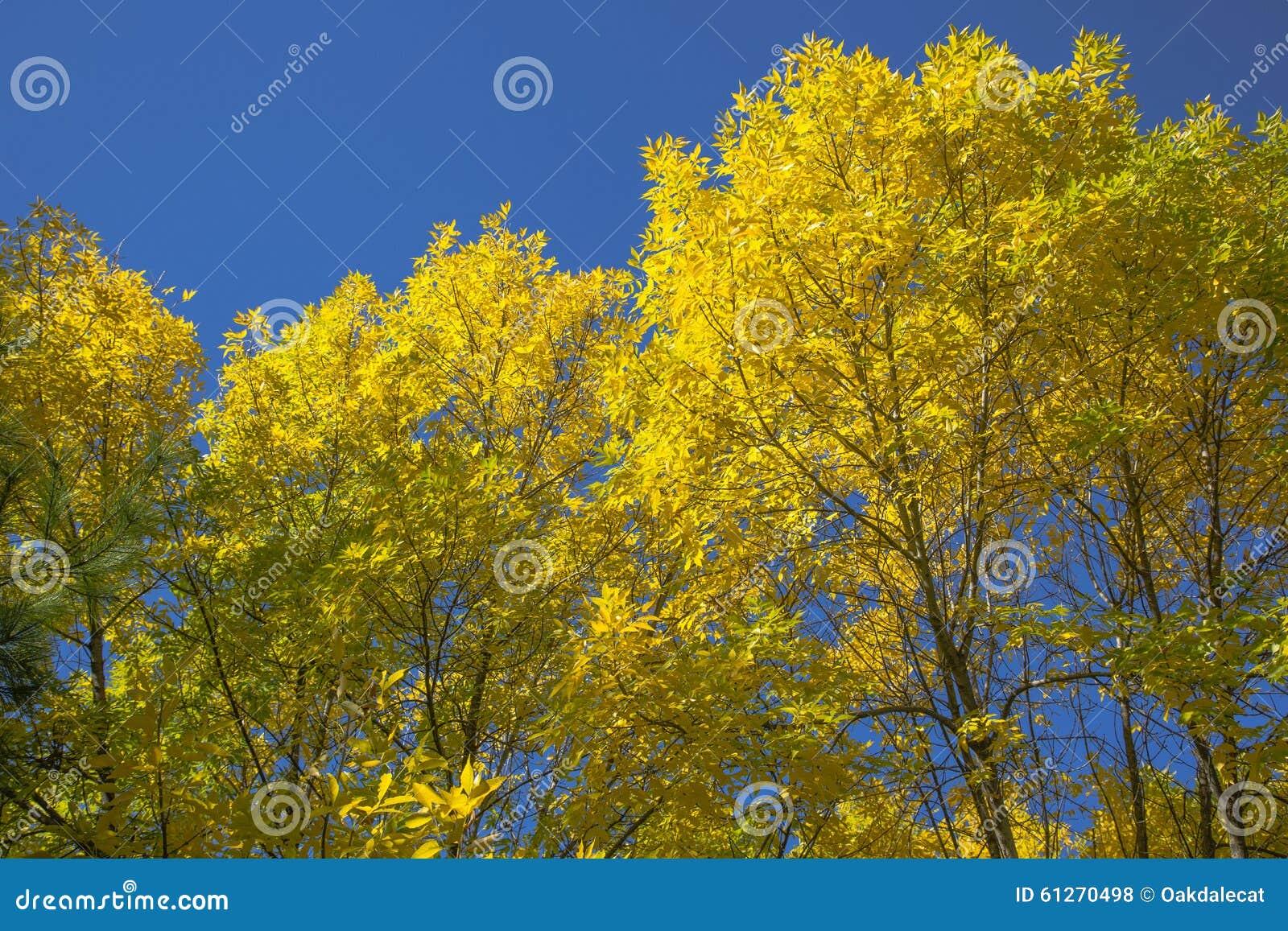 Yellow Fall Elm Trees, Blue Sky