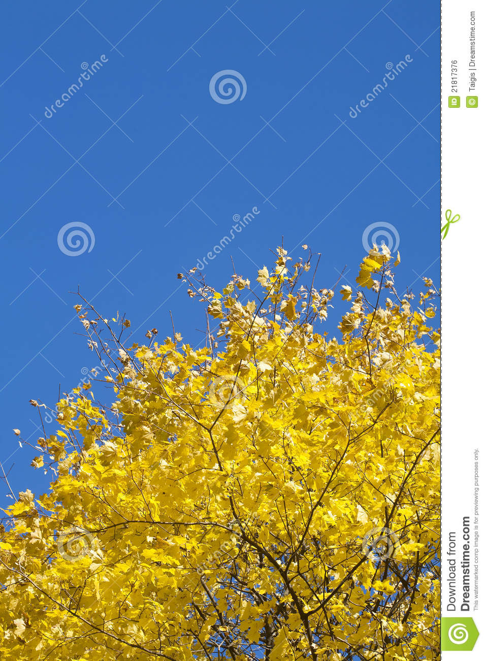 Yellow fall maple leafs