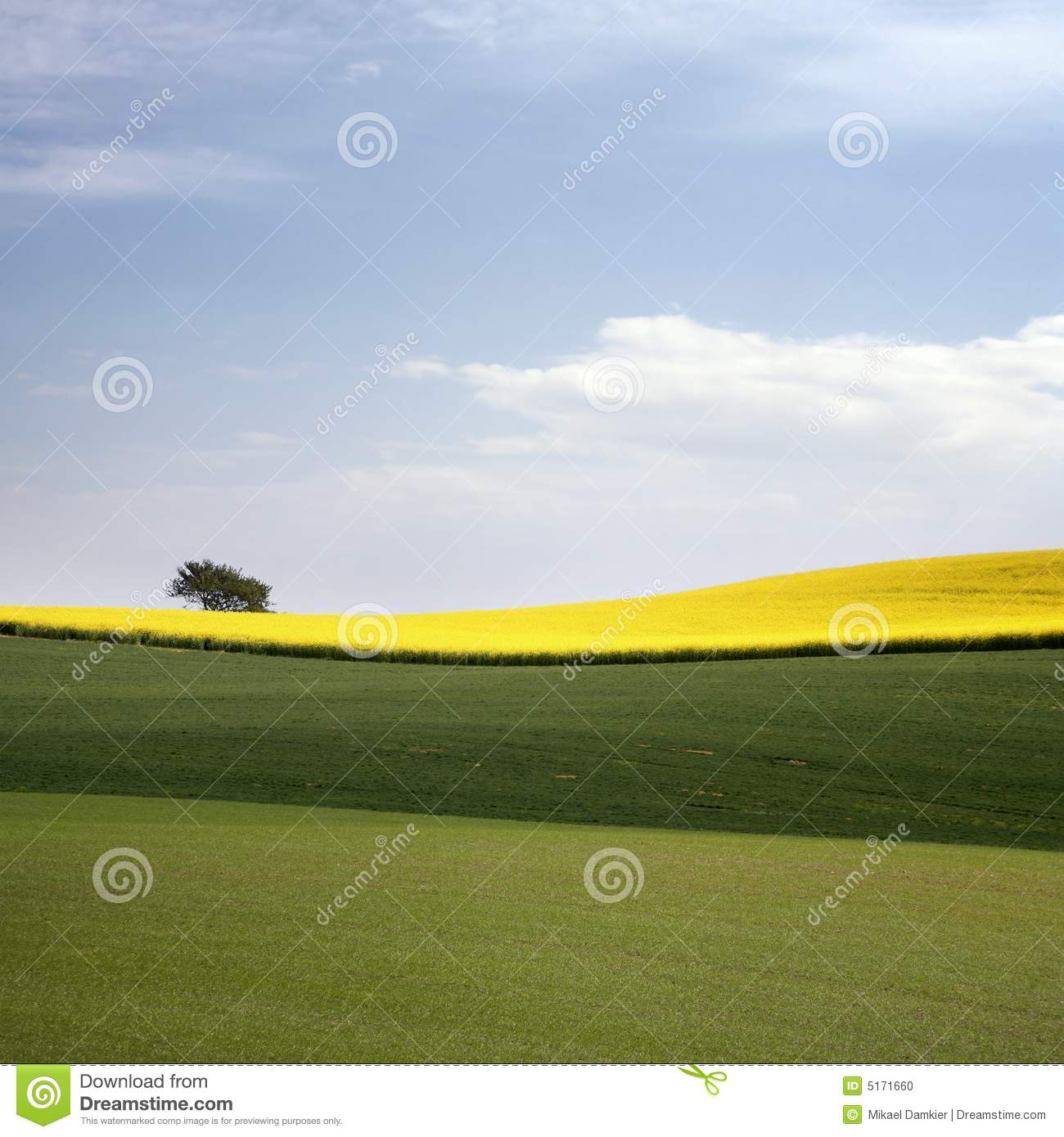 Yellow field with oil seed in early spring