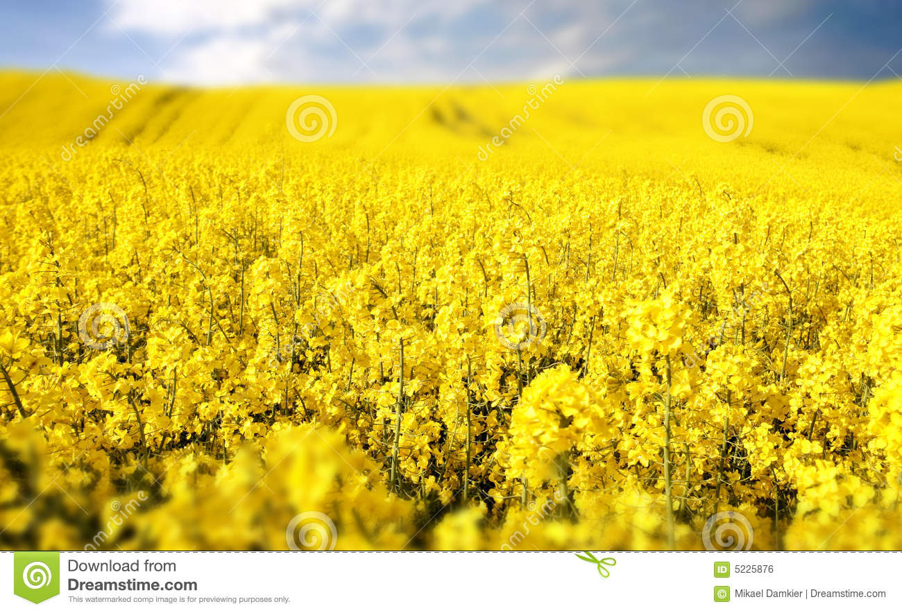 Yellow Field With Oil Seed Rape In Early Spring Royalty