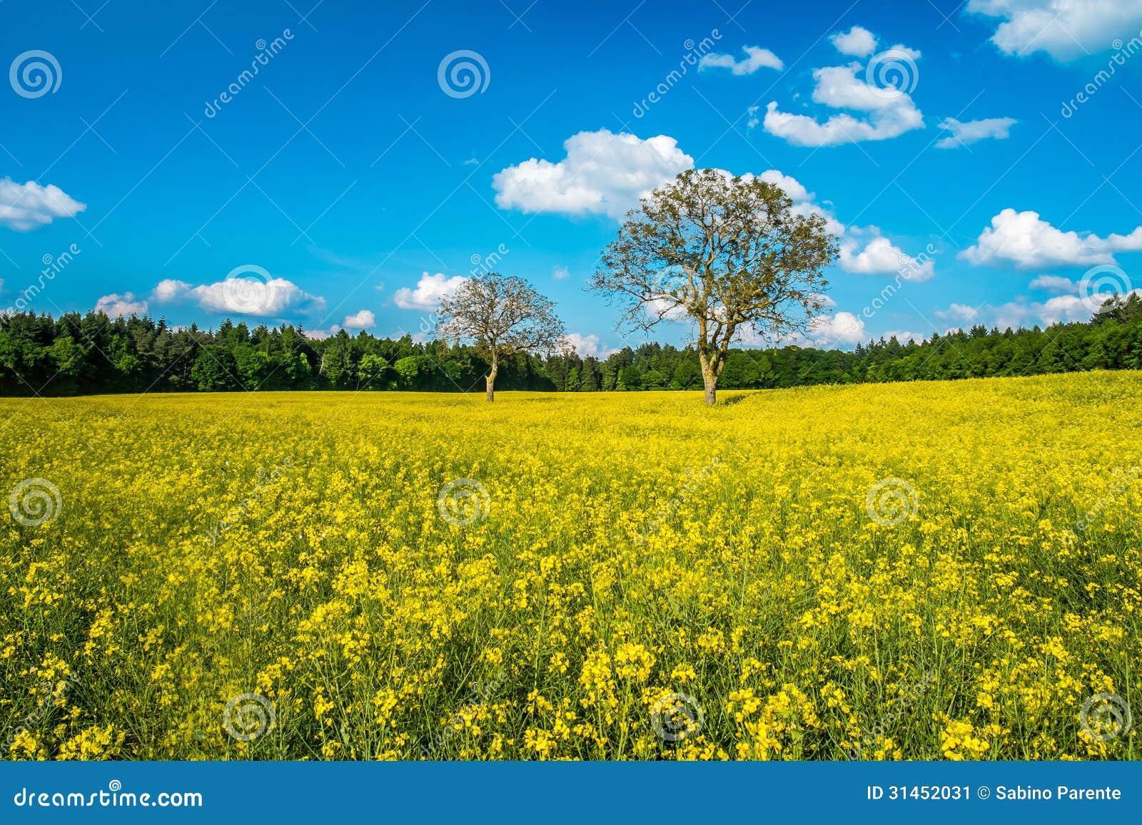 beautiful yellow field landscape - photo #14
