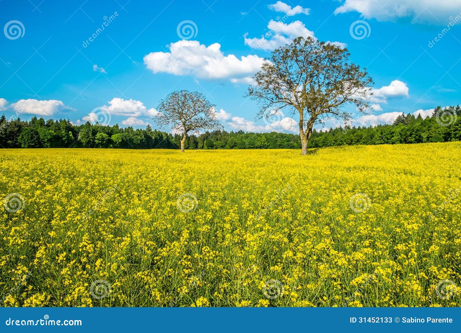 beautiful yellow field landscape - photo #5