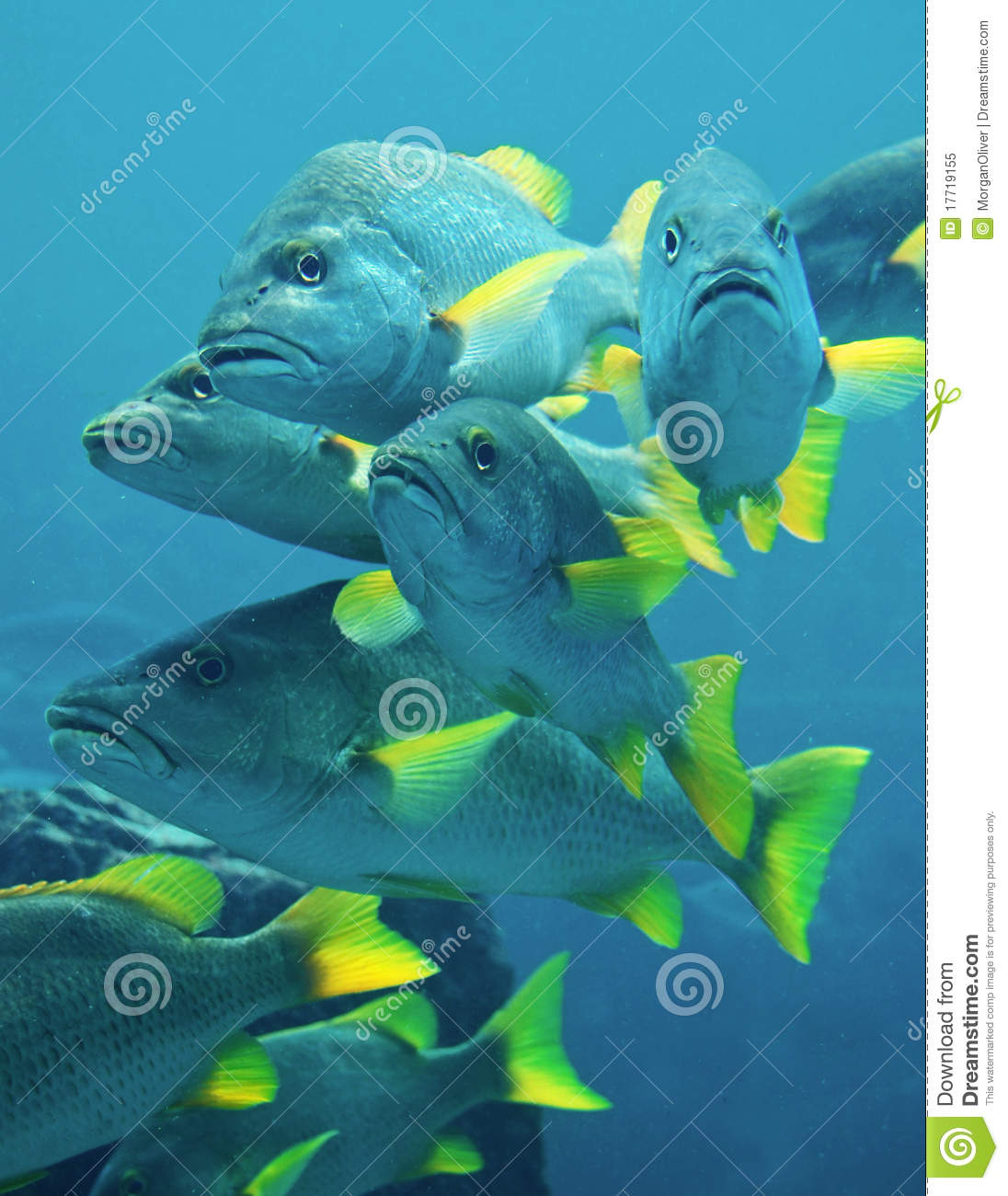 Yellow fin blue fish royalty free stock photo image for Blue fin fish