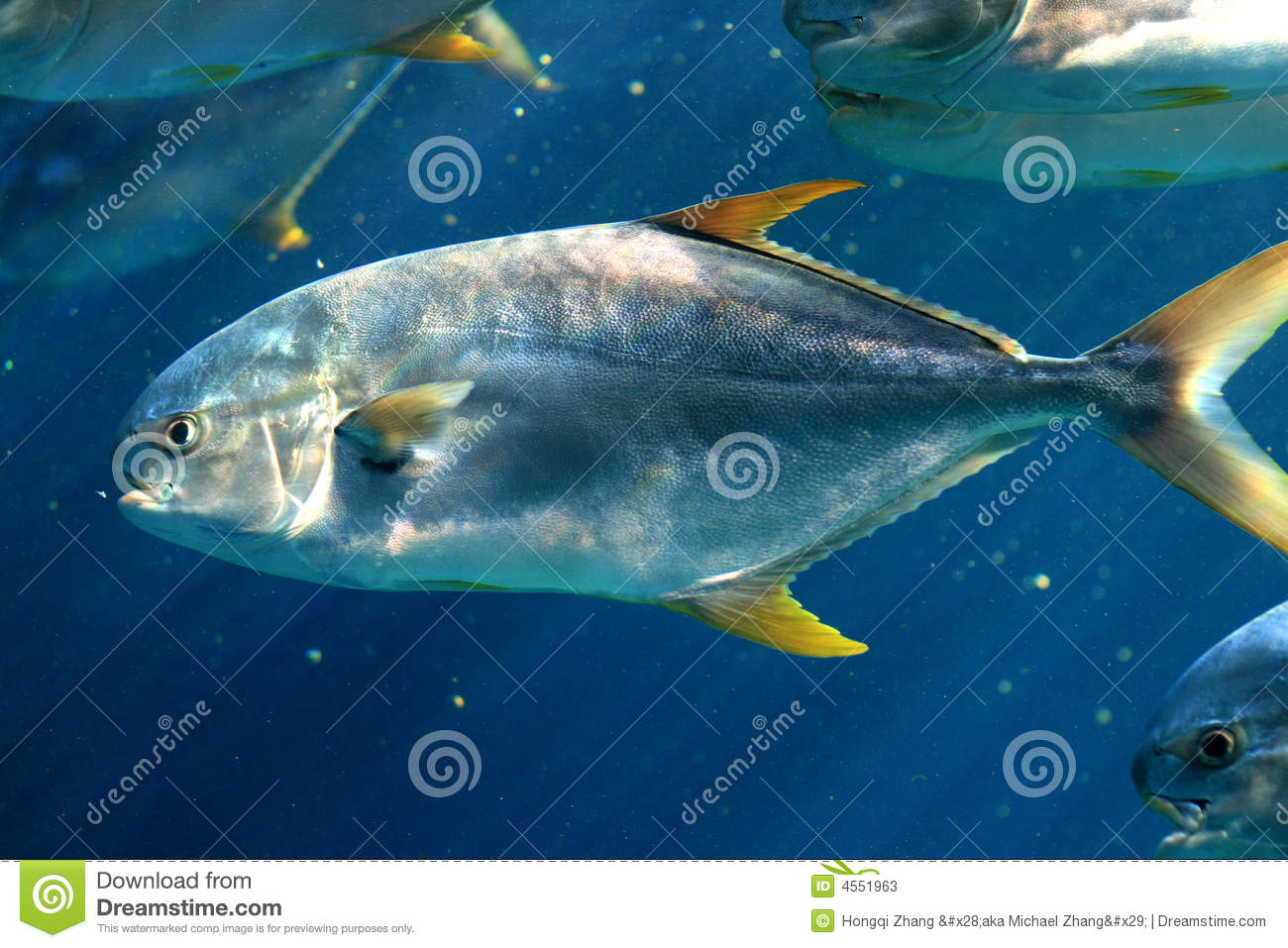 Yellow fin pompano stock photos image 4551963 for Picture of pompano fish