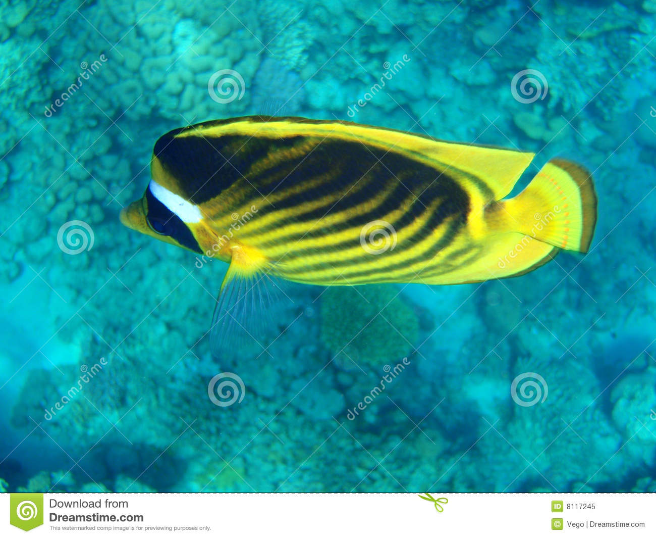 Coral reef fish yellow - photo#28
