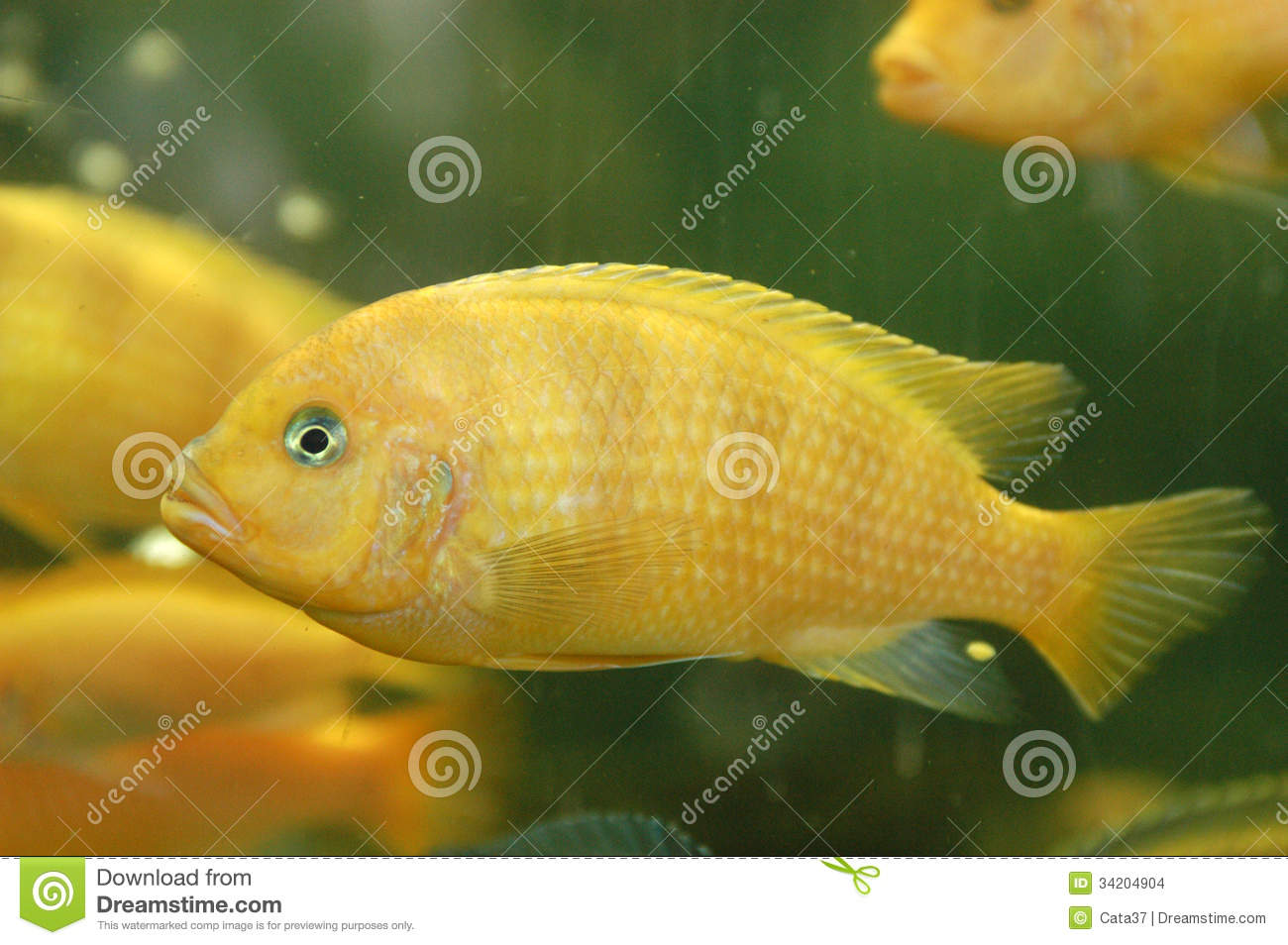 Yellow fish stock images image 34204904 for Yellow tropical fish