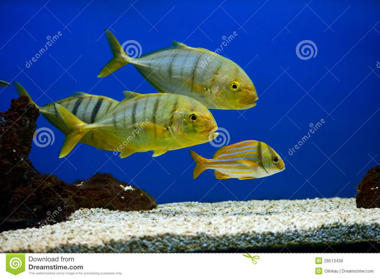 Black and yellow freshwater aquarium fish - Yellow Fish With Black Stripes Royalty Free Stock Image