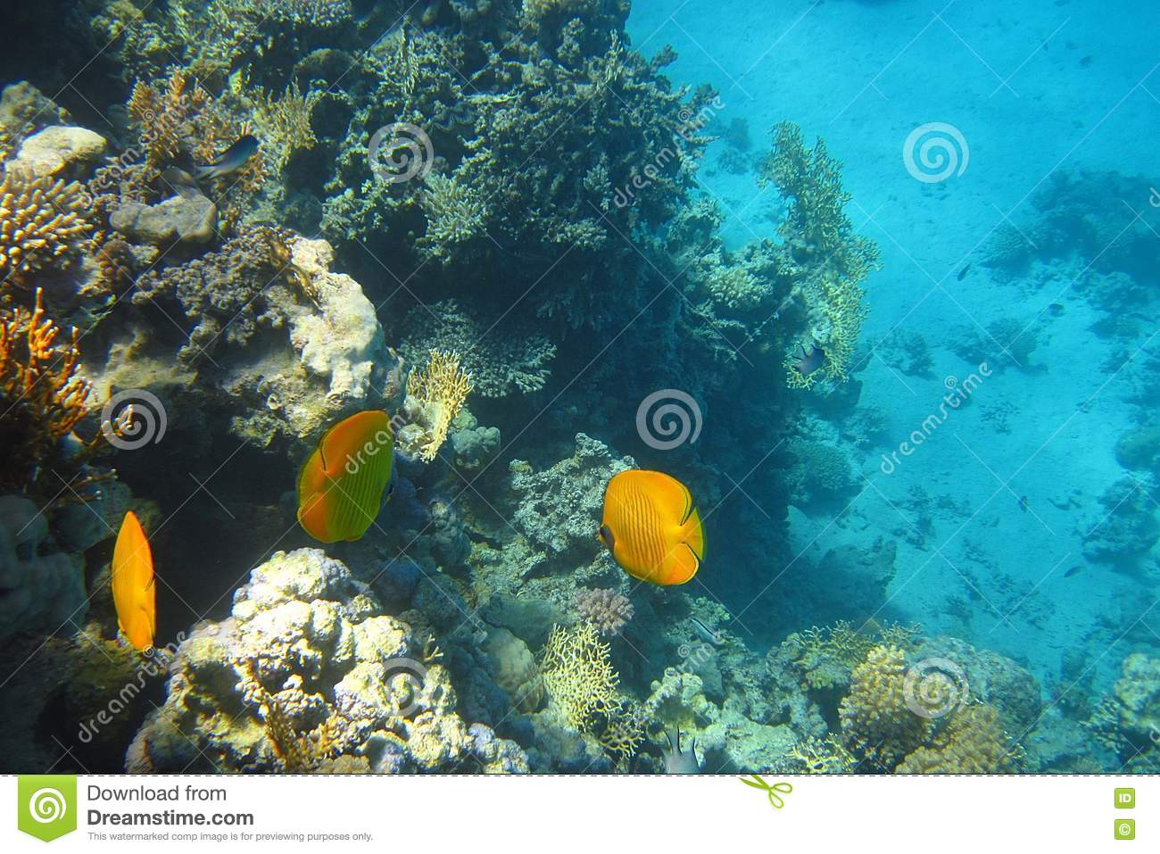 Coral reef fish yellow - photo#15