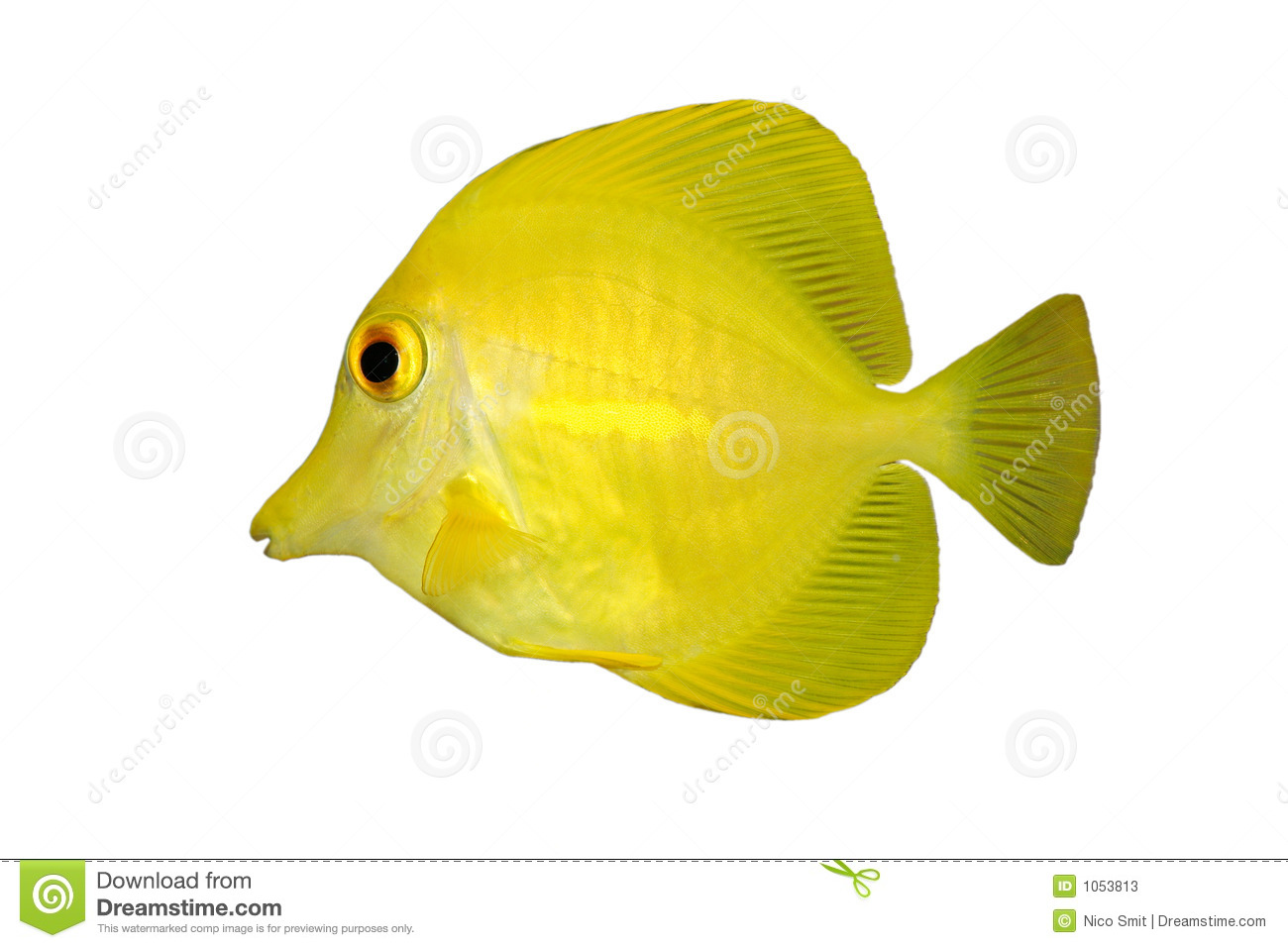 Yellow fish tang isolated stock image image 1053813 for Image of fish