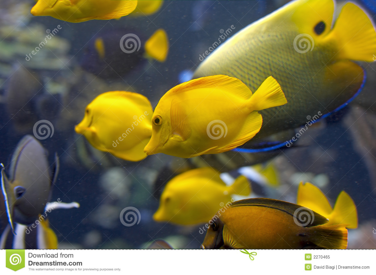 Yellow fish in tank royalty free stock photo image 2270465 for Yellow fish tank water