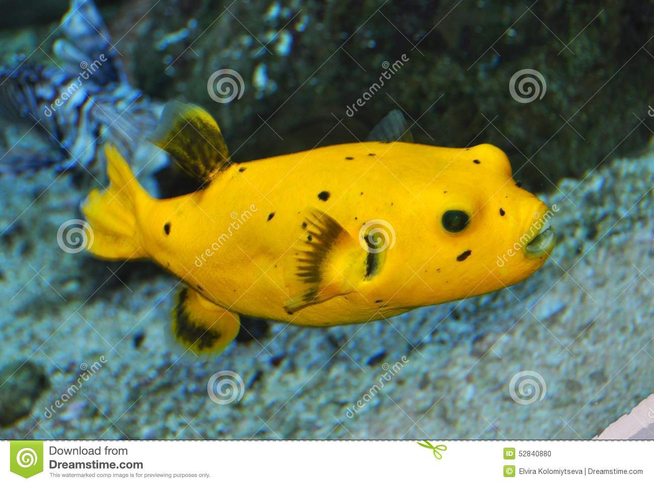 Yellow puffer fish stock photo image of puffs spotted for Puffer fish price