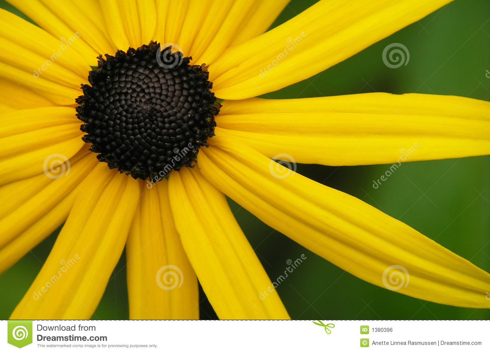 Yellow Flower Stock Photo Image Of Rudbeckia Fine Radiant 1380396