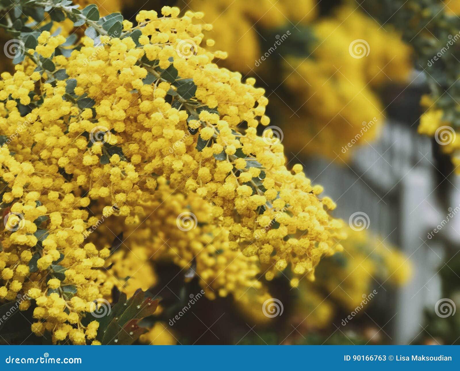 Yellow flower balls stock image image of pollen yellow 90166763 yellow flower balls mightylinksfo