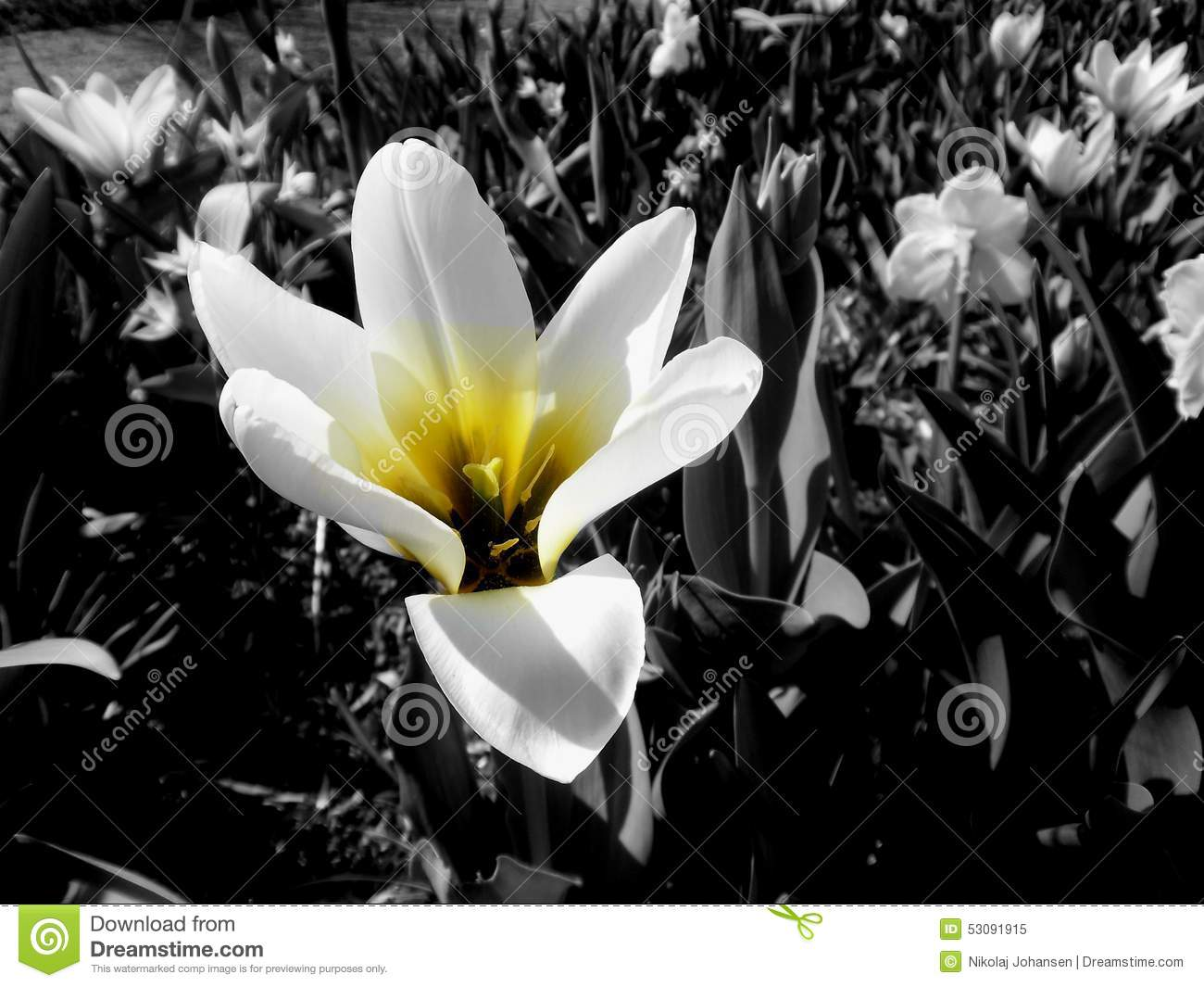 Yellow Flower In Black And White Stock Image Image Of Tulips