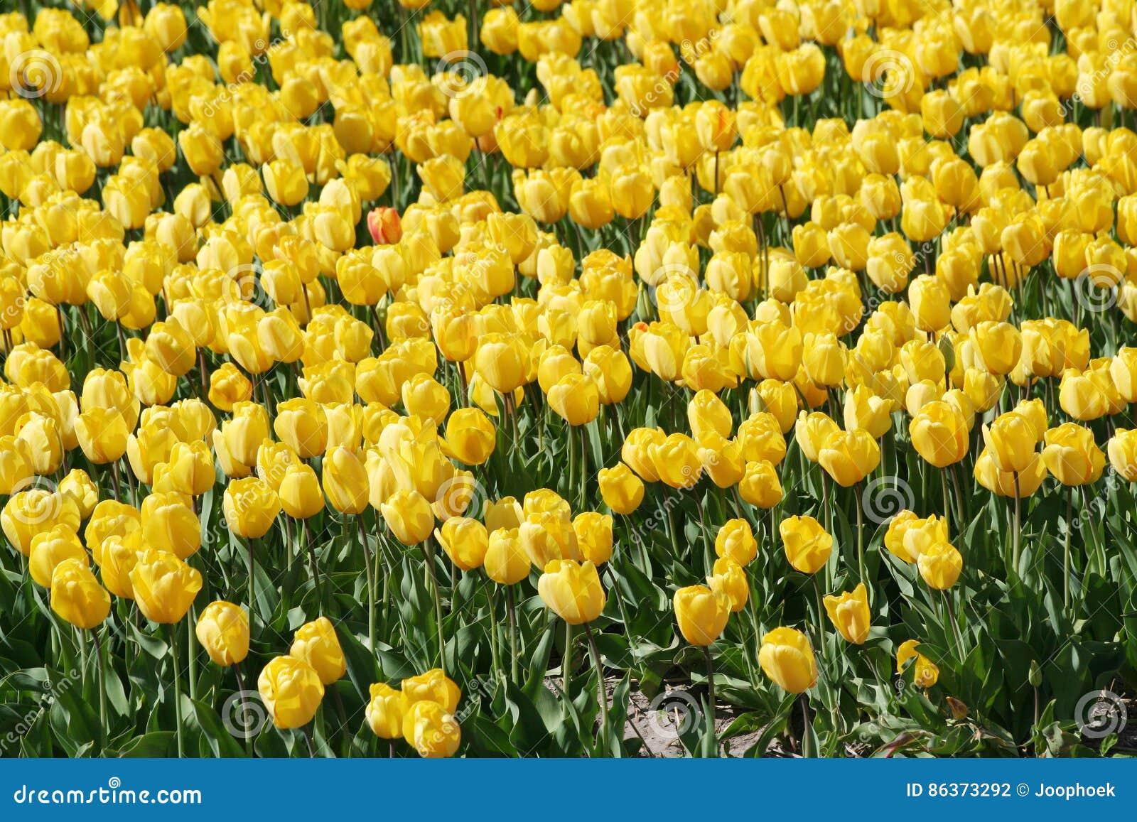 Yellow Flower Bulbs Field Stock Photo Image Of Hyacint 86373292