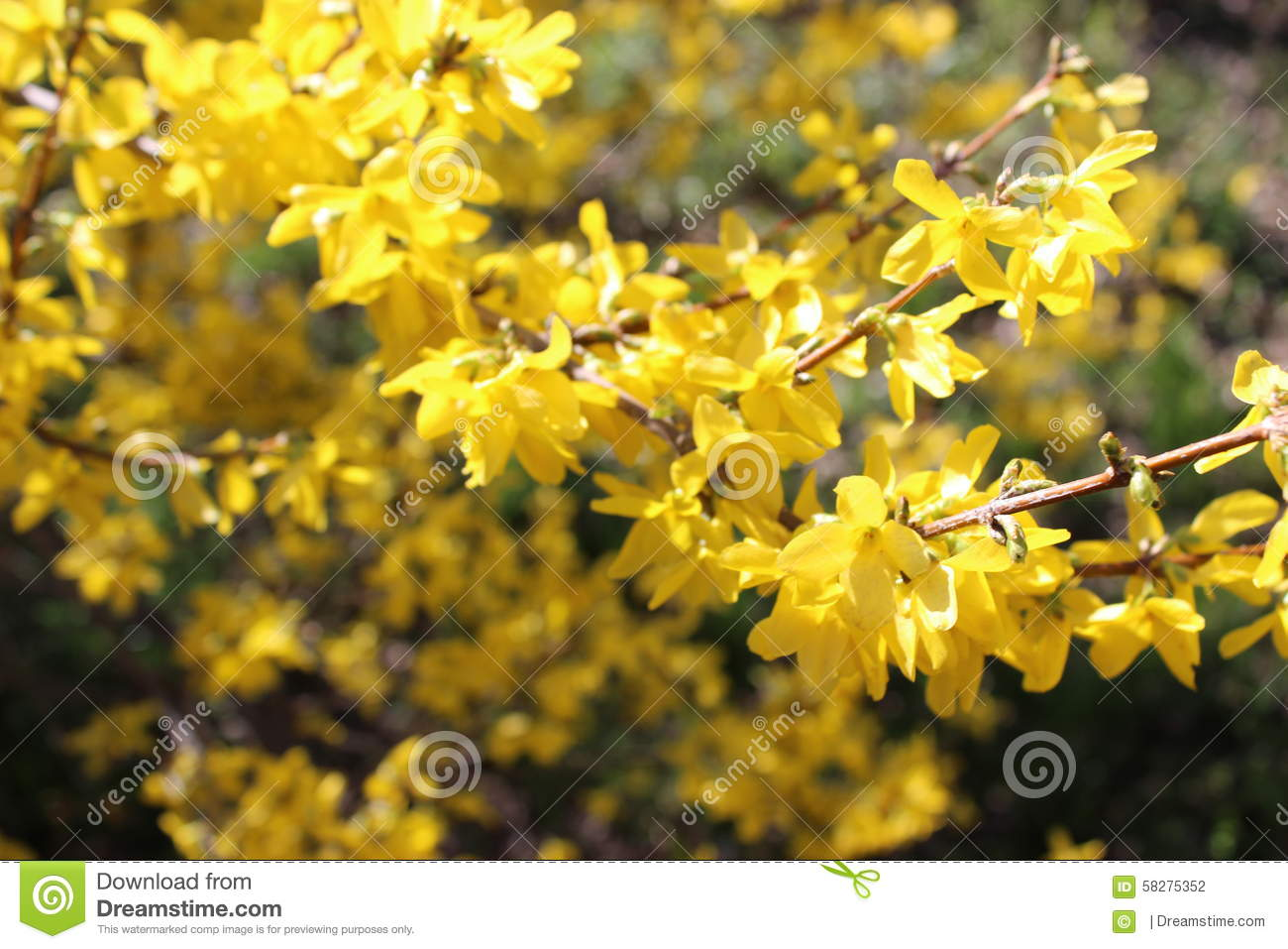 Yellow Flower Bush Stock Photo Image Of Gorgeous Spring 58275352