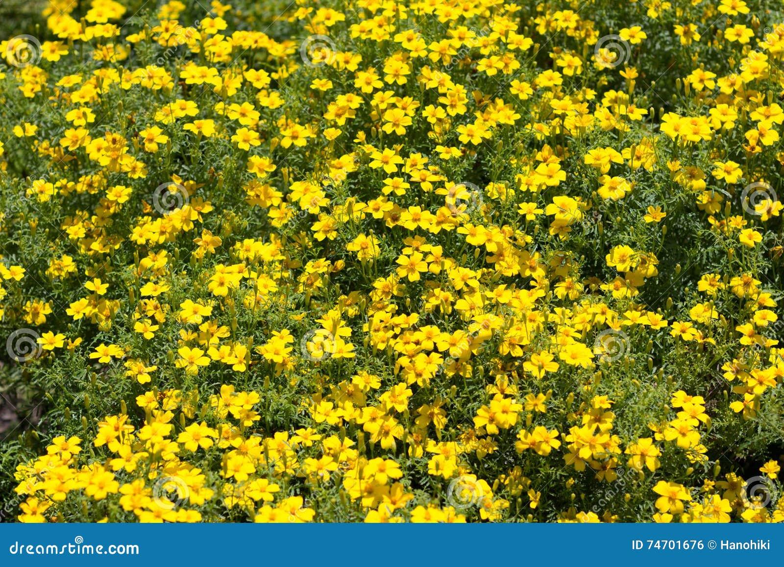 Yellow Flower Bush Many Yellow Spring Flowers Stock Photo
