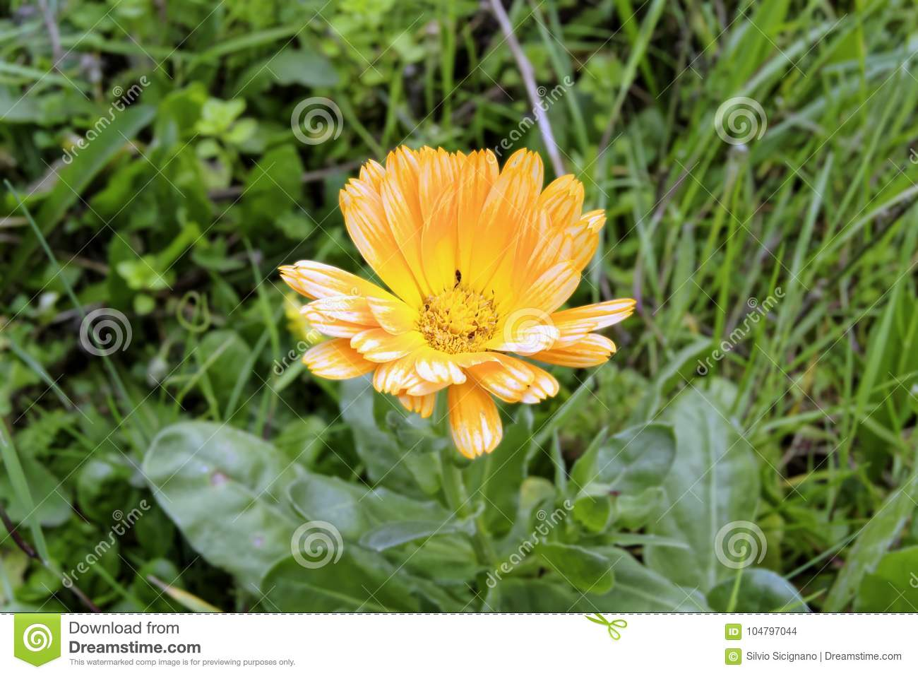 Yellow flower called calendula with insects among the pistils stock download yellow flower called calendula with insects among the pistils stock photo image of bloom mightylinksfo