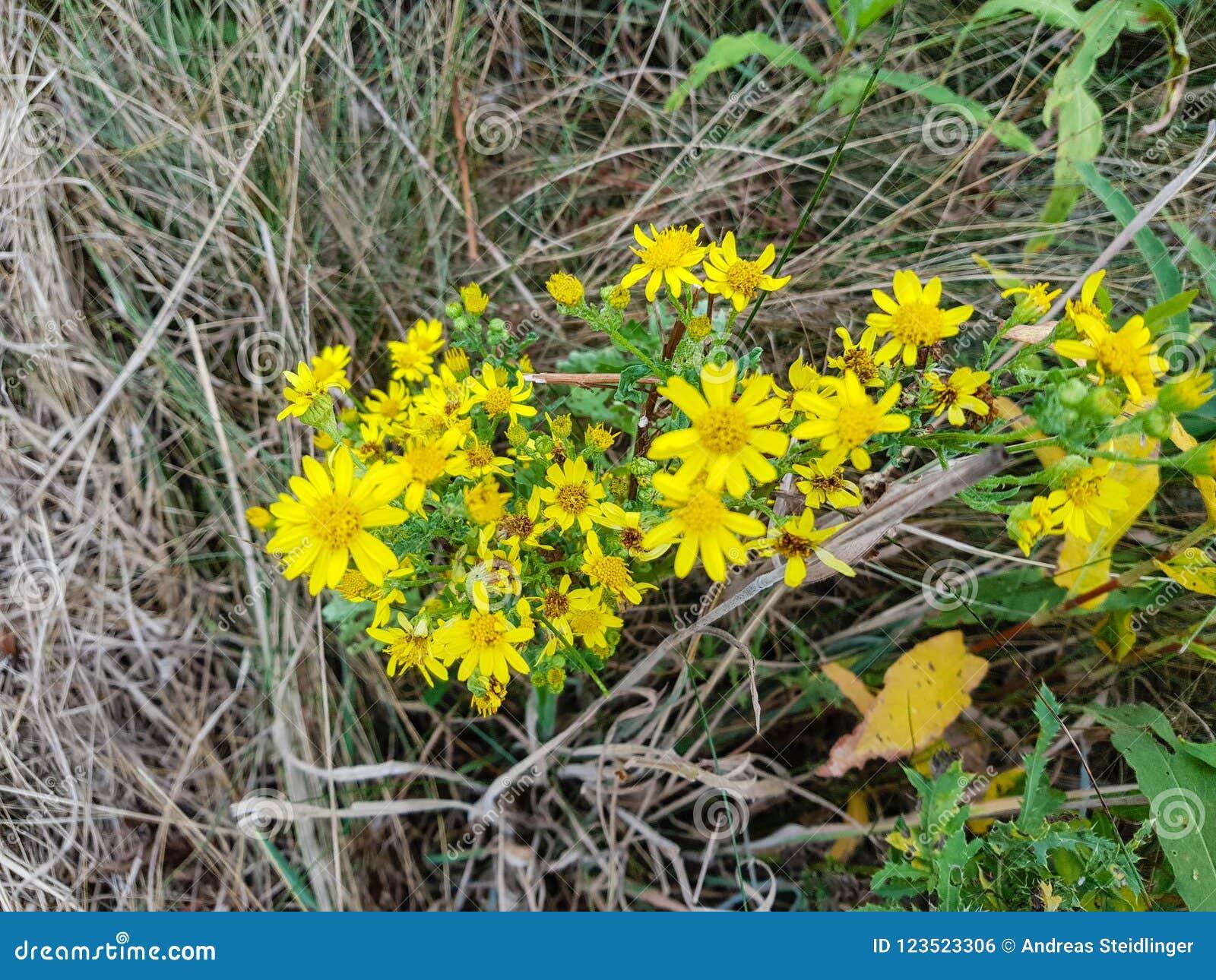 Poisonous Senecio Jacobaea Stock Photo Image Of Blooming 123523306