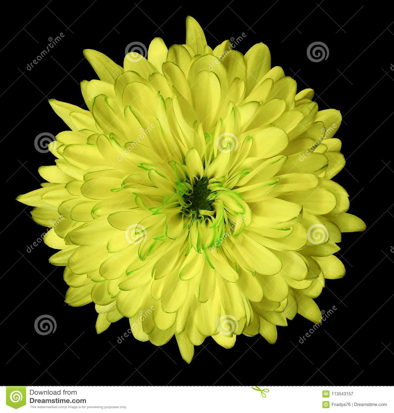Yellow flower chrysanthemum garden flower black isolated yellow flower chrysanthemum garden flower black isolated background with clipping path closeup no shadows green centre nature mightylinksfo