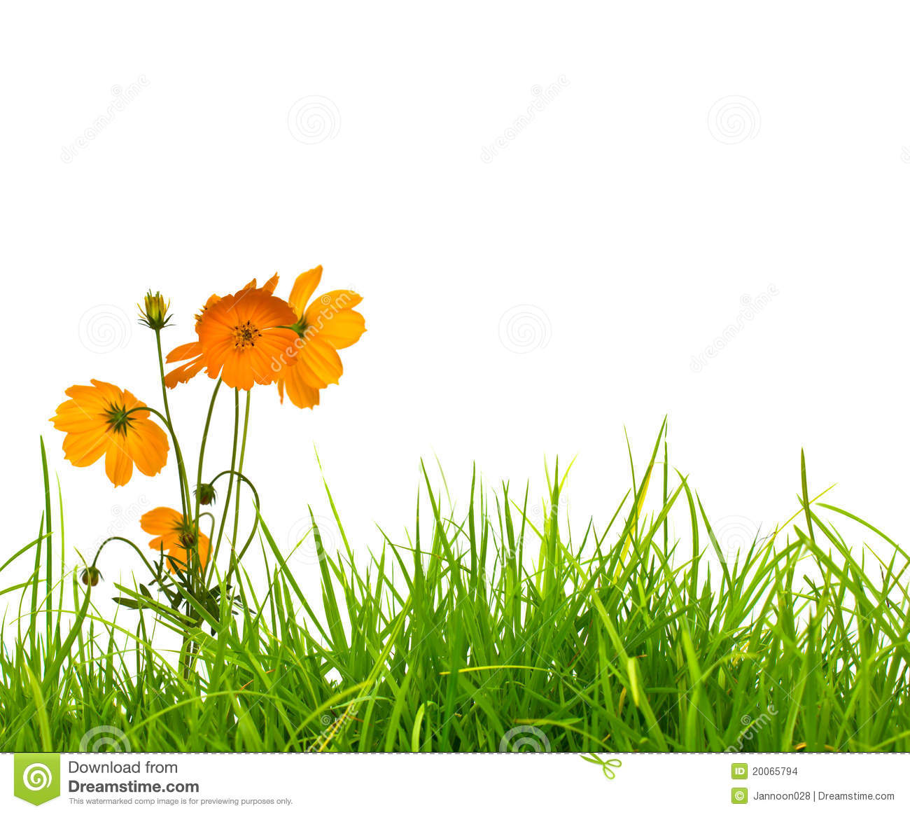 Yellow flowercosmos and fresh spring green grass stock photo download comp mightylinksfo