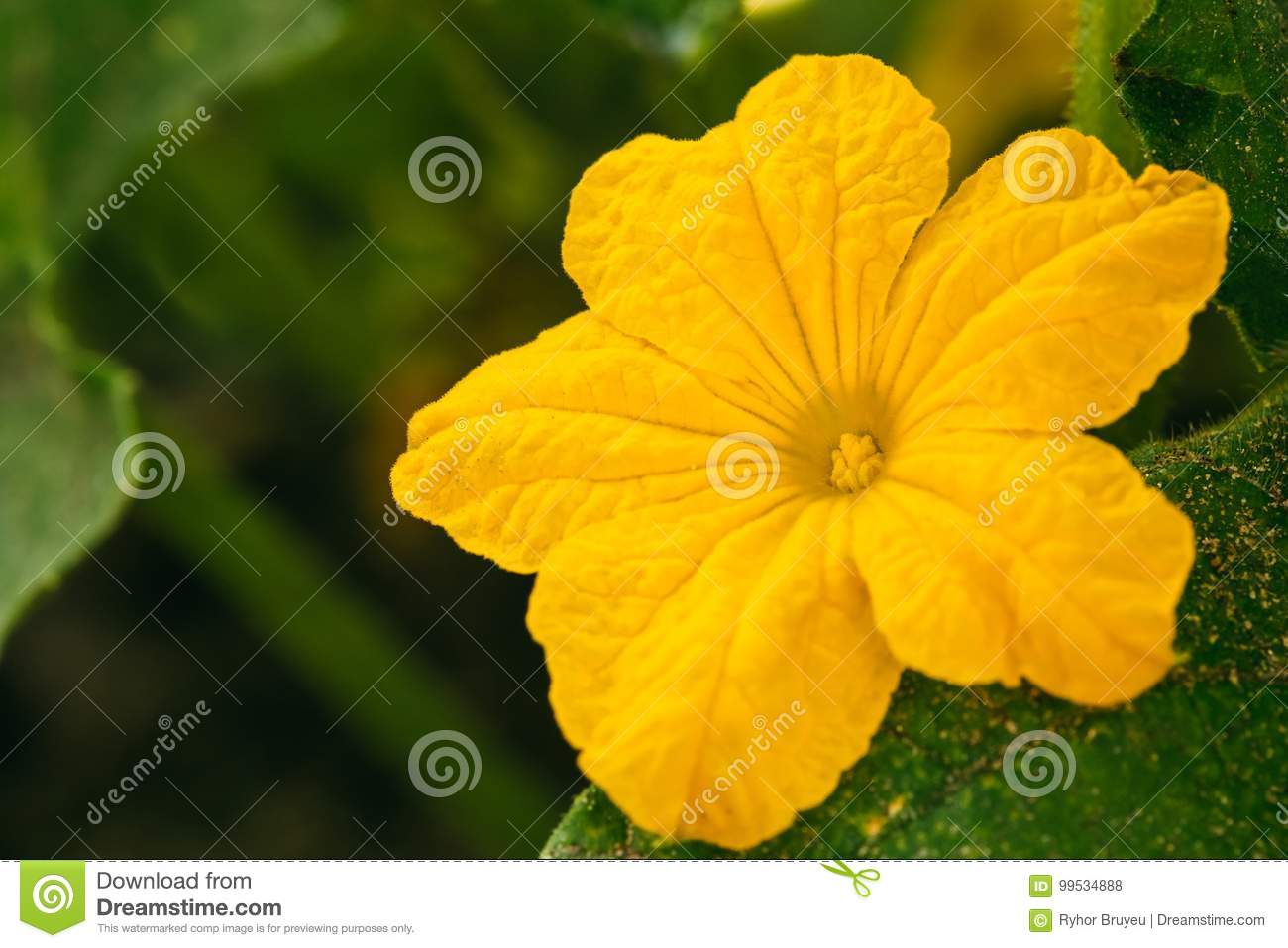 Yellow Flower Of Cucumber On Branch In The Garden Flowering Plant