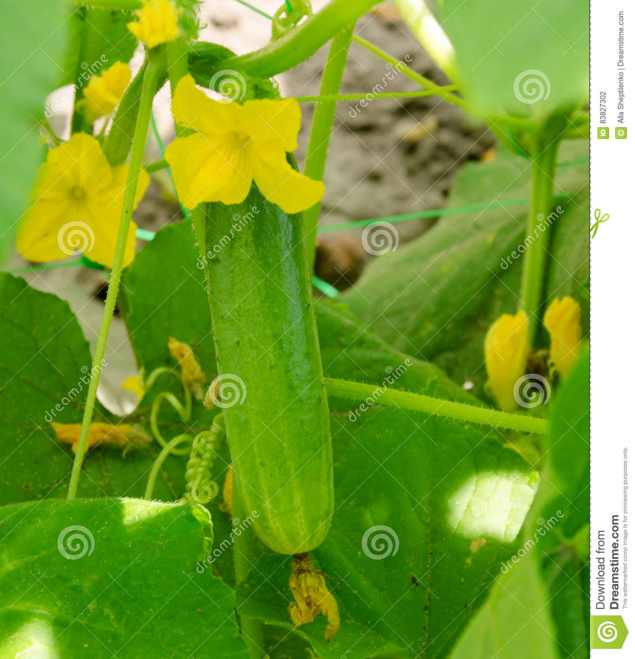 Yellow Flower Of A Cucumber Stock Photo Image Of Food Harvest