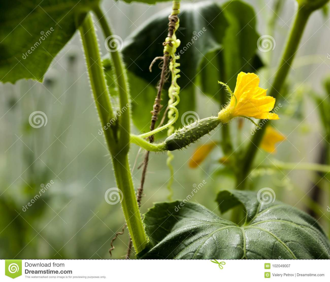 Small Cucumber With Yellow Flower In The Greenhouse Stock Image