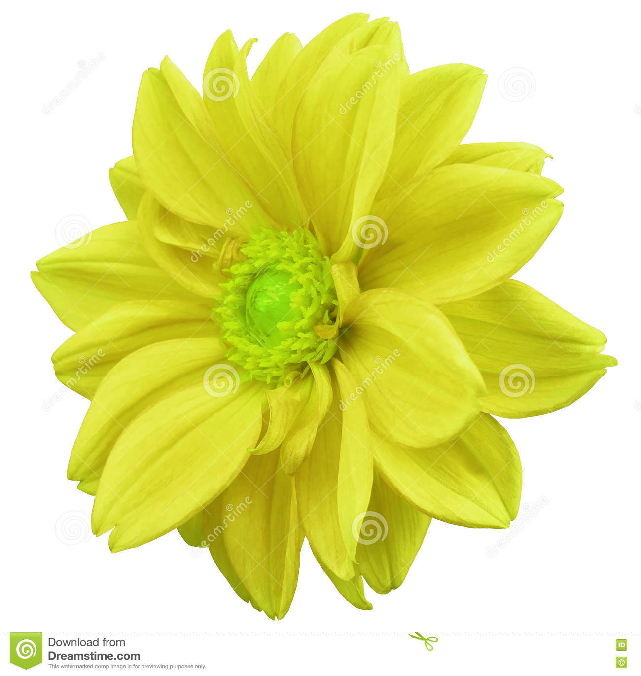 Yellow Flower Dahlia White Isolated Background With Clipping Path
