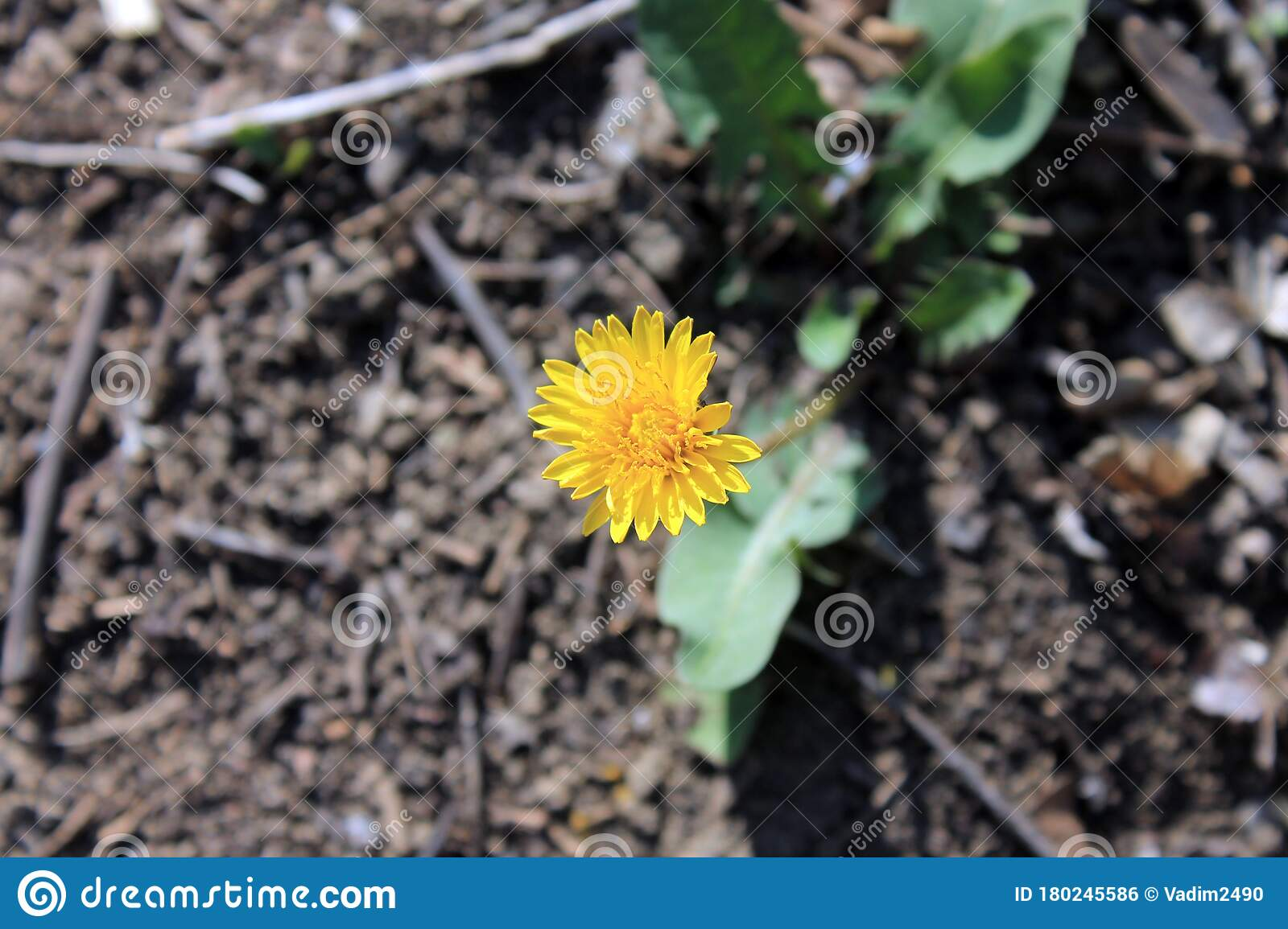 The Yellow Flower Of A Dandelion In Forest Stock Photo ...