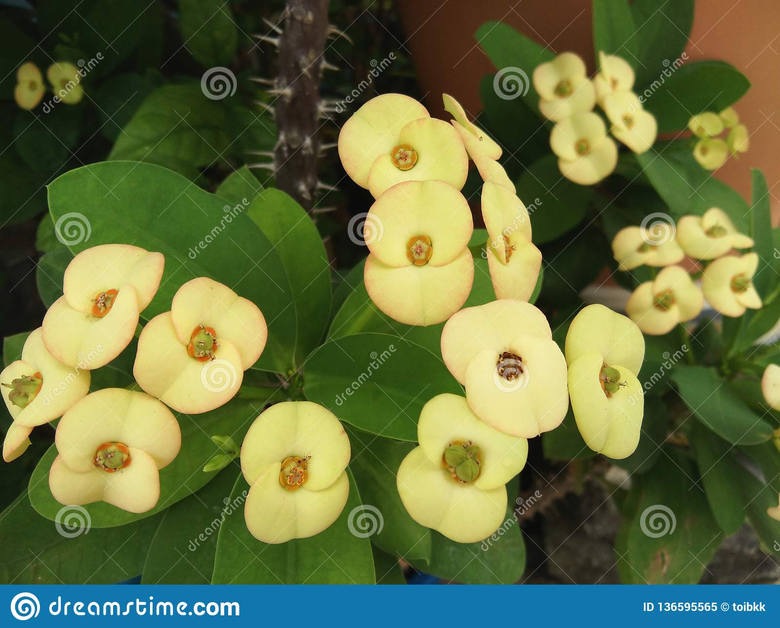 Yellow flower bouquet of Euphorbia milii, Christ thorn, Crown of thorns