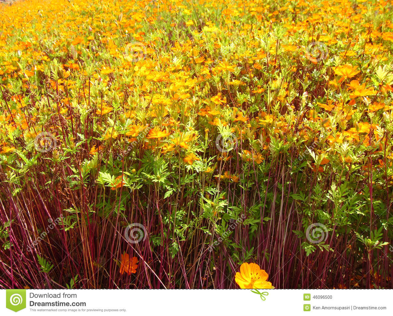 Yellow flower field at the park stock photo image of song field yellow flower field in seoul korea mightylinksfo