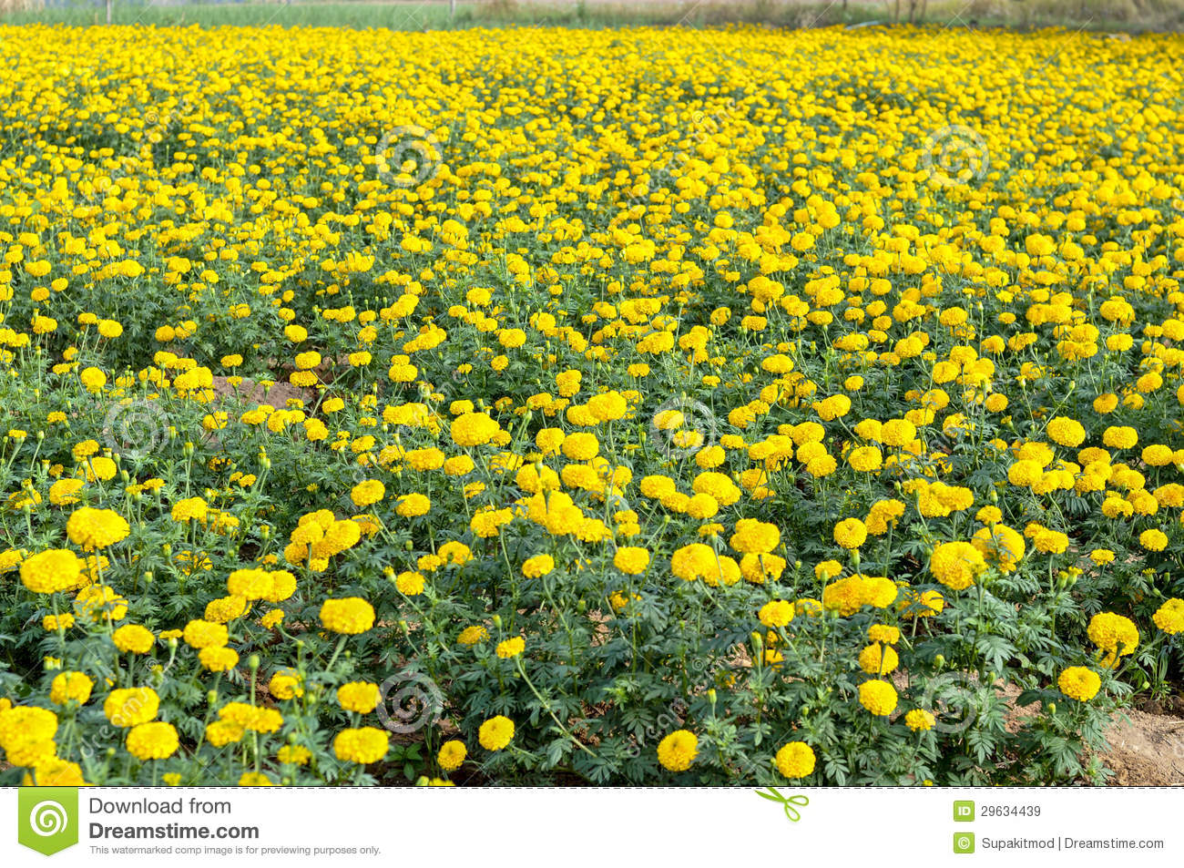 Yellow Flower Garden Royalty Free Stock Images Image