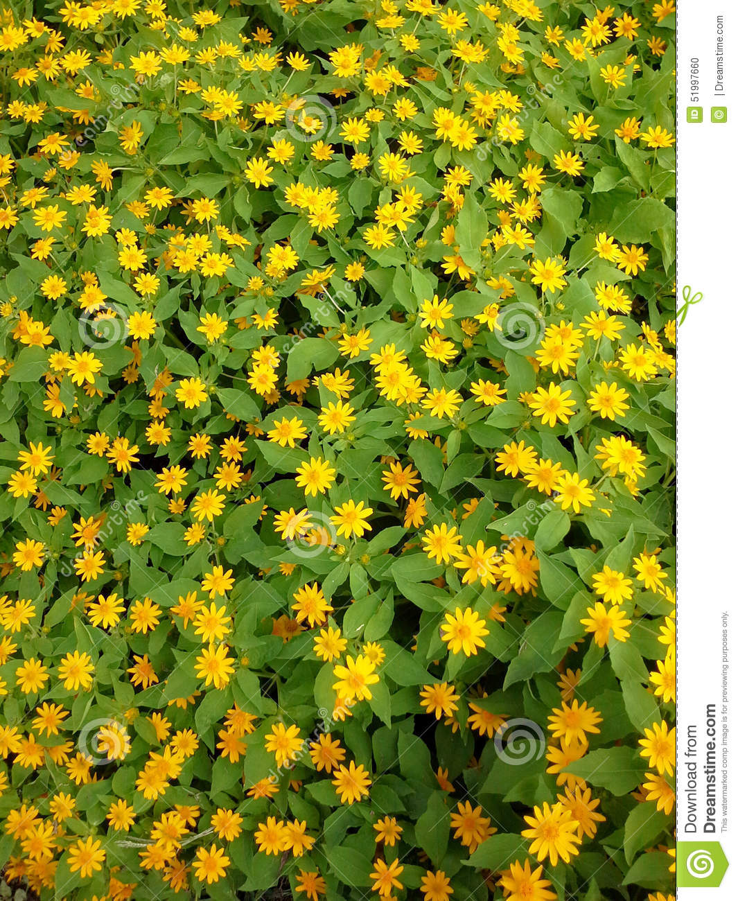 Yellow flower garden stock photo image of flower bloom 51997660 yellow flower garden mightylinksfo