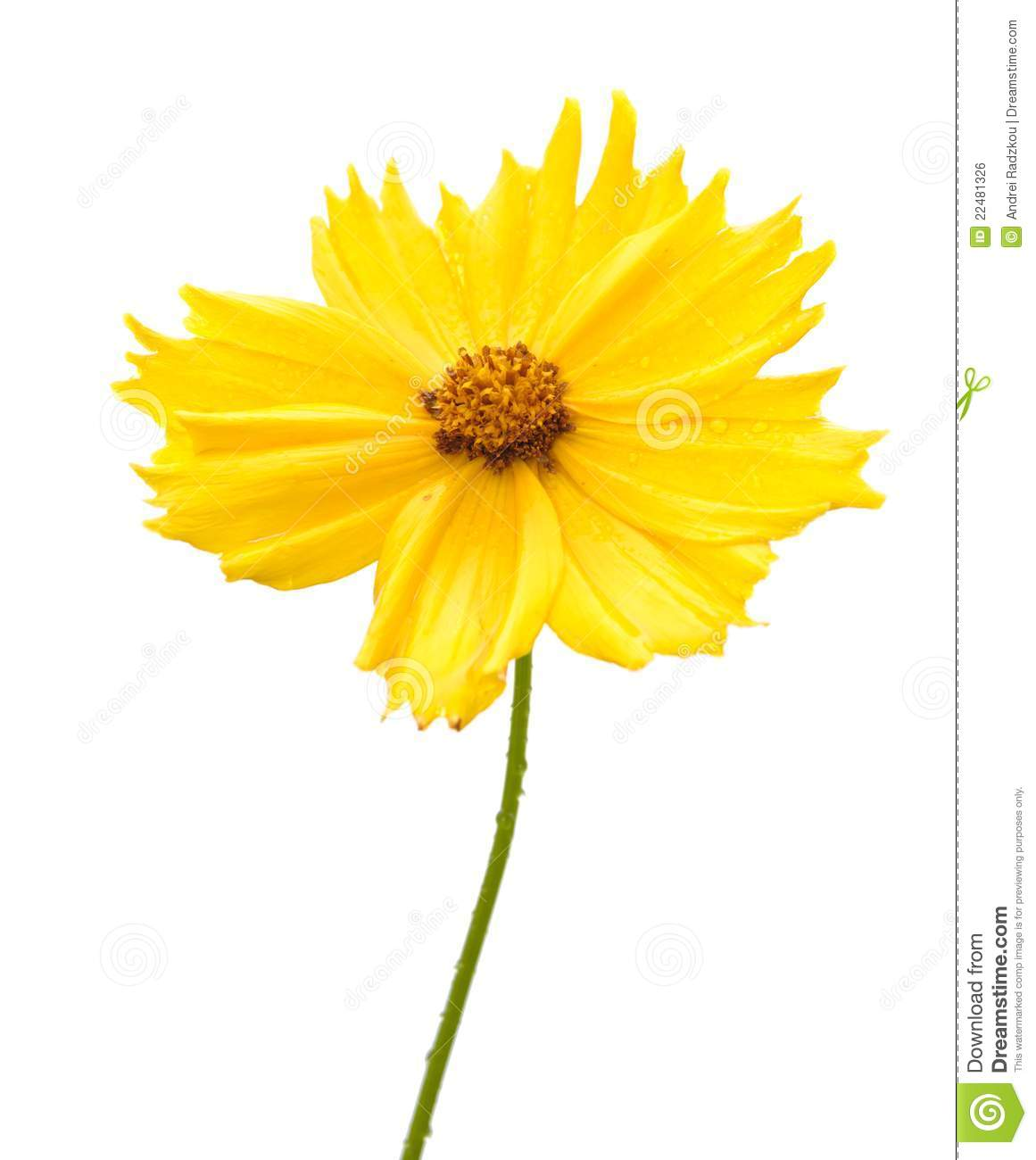 Yellow flower of garden coreopsis stock photo image of blooming download yellow flower of garden coreopsis stock photo image of blooming floral 22481326 mightylinksfo