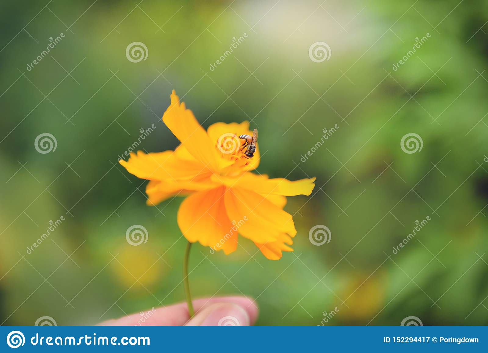 Yellow flower in hand with bee on pollen marigold flower in the nature green background