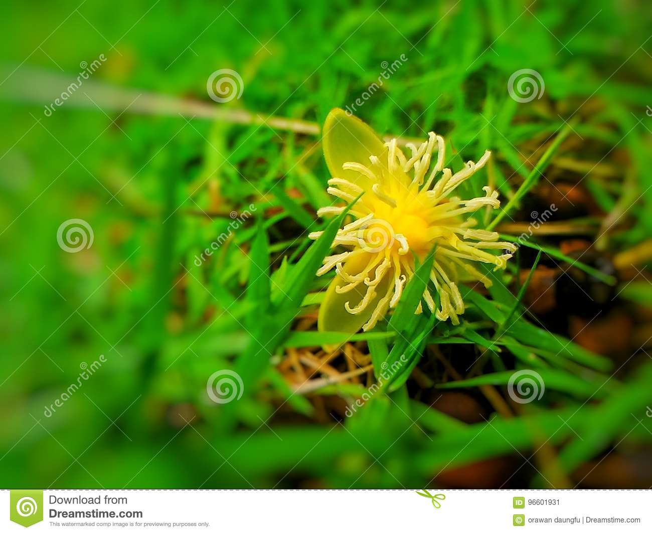 Yellow Flower Stock Image Image Of Flower Annuals Bulbs 96601931