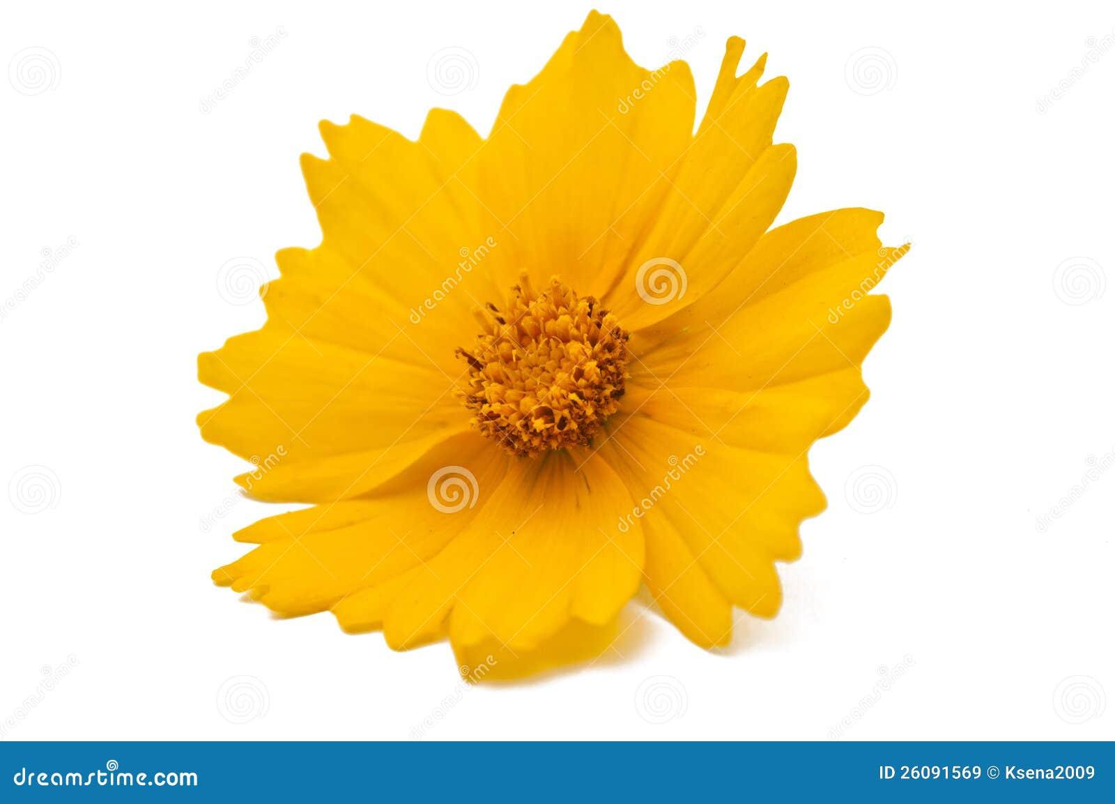 Yellow Flower Isolated Royalty Free Stock Images - Image ... Leelawadee