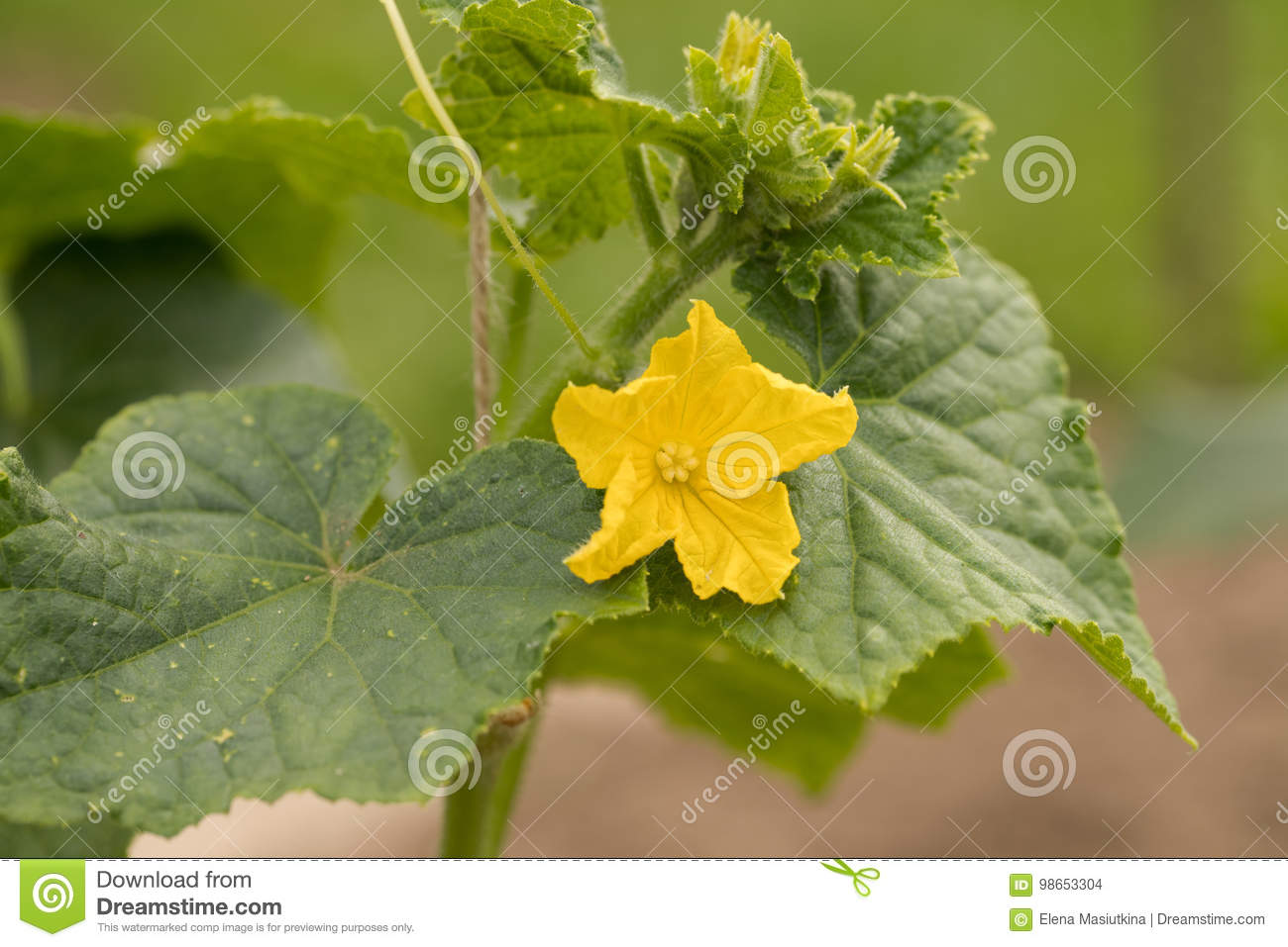 Yellow flower with leaves of cucumber in vegetable garden stock download yellow flower with leaves of cucumber in vegetable garden stock photo image of mightylinksfo