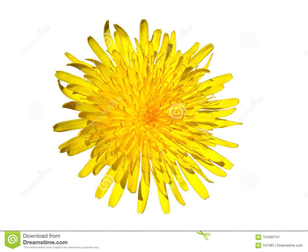 Yellow flower with many thin petals closeup isolated on white download yellow flower with many thin petals closeup isolated on white background stock image image mightylinksfo