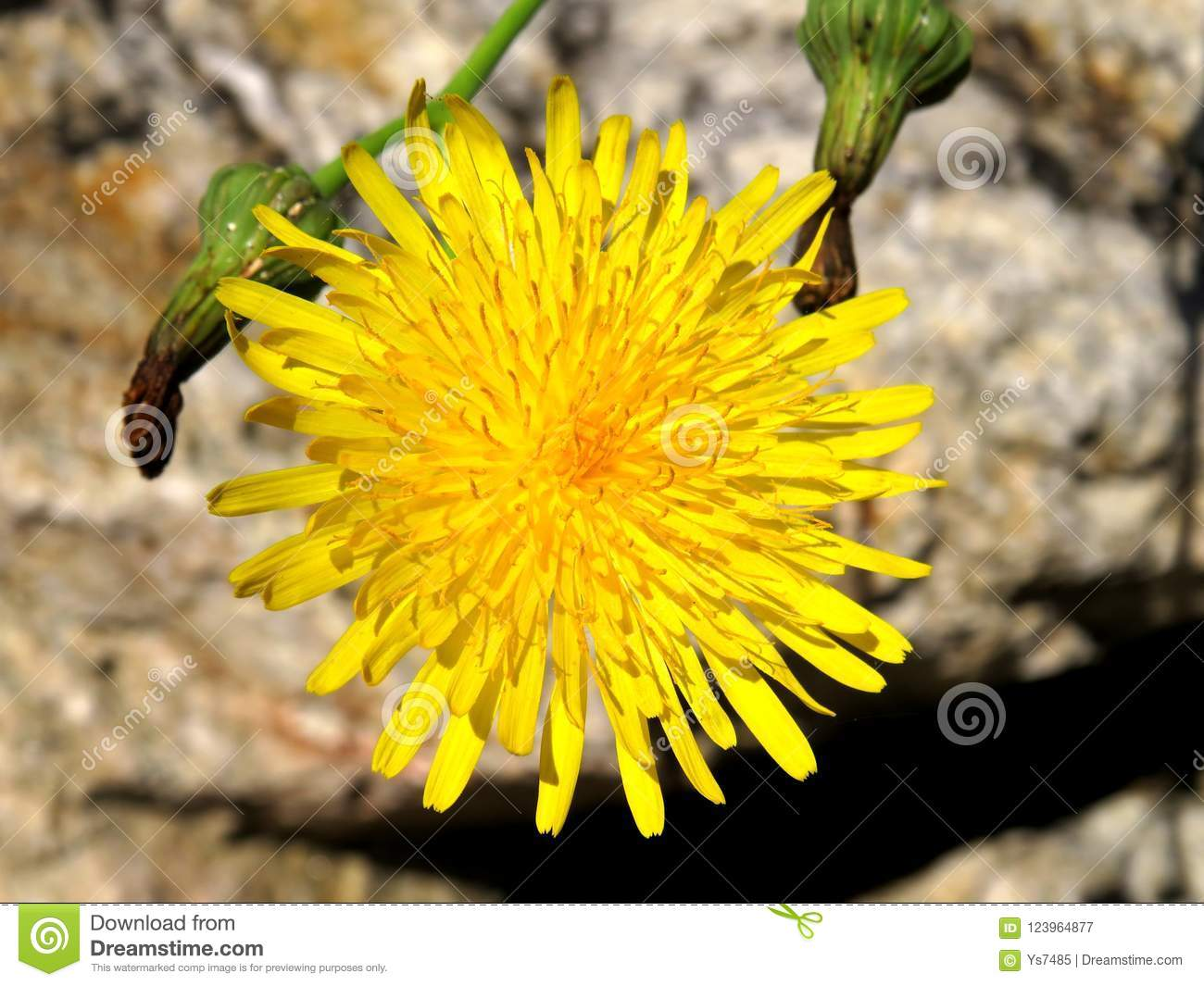 Yellow flower with many thin petals closeup stock image image of download yellow flower with many thin petals closeup stock image image of outdoor sunny mightylinksfo