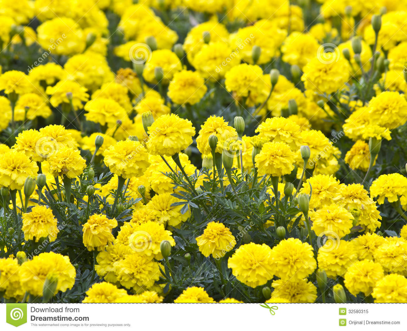 Yellow Flower Marigold In The Garden Royalty Free Stock