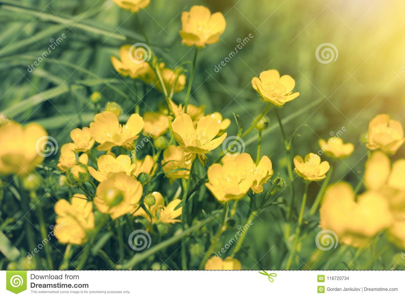 Yellow Flower In Meadow Buttercup Flower In Grass Stock Photo