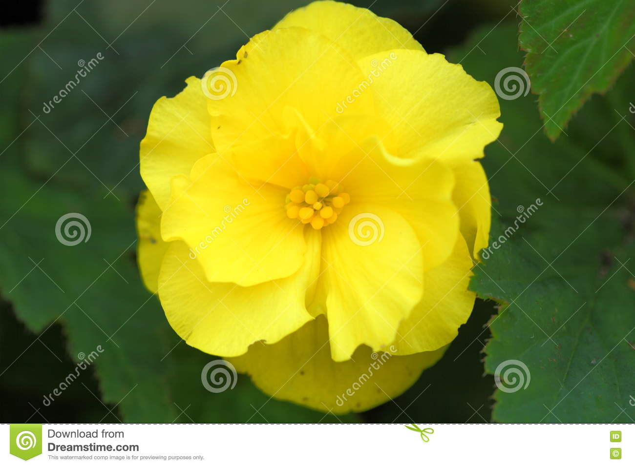 Yellow Flower Middle Stock Image Image Of Others Leaf 76285477
