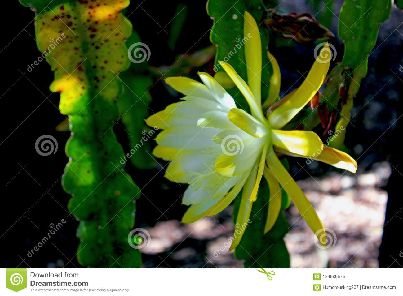 Yellow Flower Of The Night Blooming Cereus Stock Image Image Of